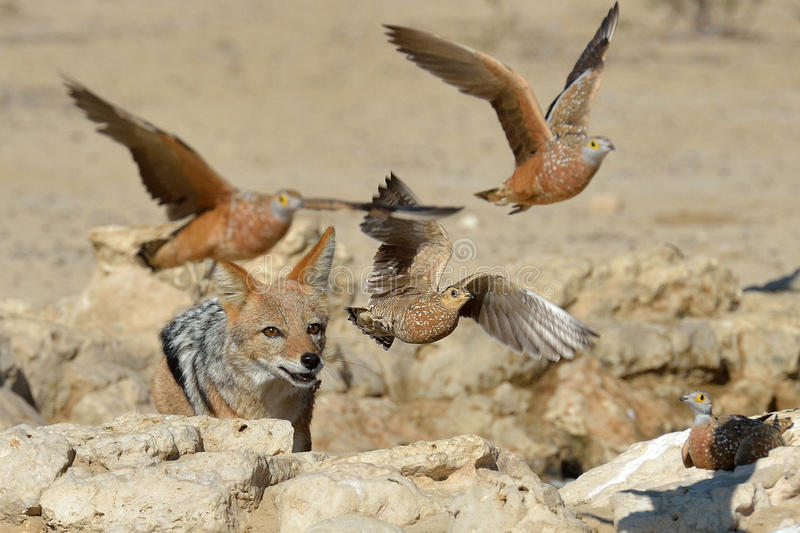 Jackal chasing sand grouse stock images
