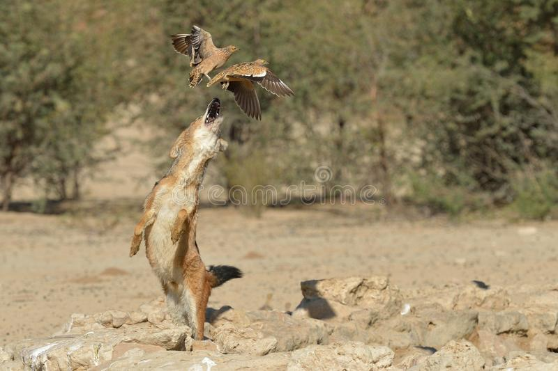 Jackal chasing sand grouse royalty free stock photos