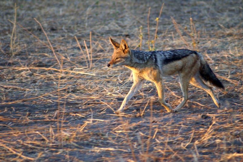 Jackal at dawn. Black-backed jackal returning to its burrow at dawn in Chobe National Park, Botswana stock photo