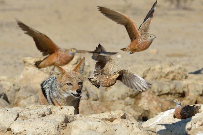 Jackal, der Sandwaldhuhn jagt stockbilder