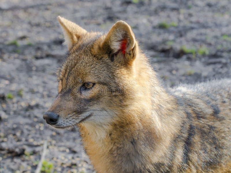 Jackal dourado (Canis áureo) fotografia de stock