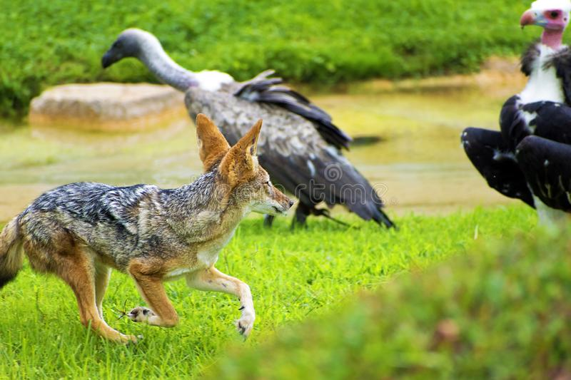 A jackal fight against two vultures for food royalty free stock images
