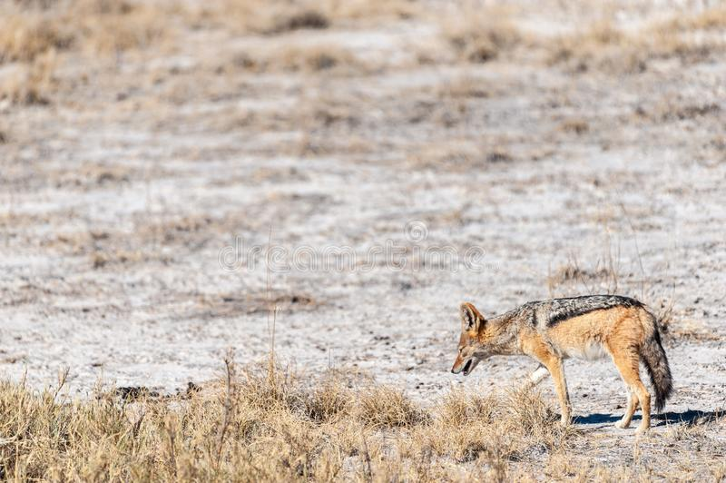 Jackal on the hunt for Prey. A side-striped Jackal -Canis Adustus- hunting for prey in Etosha National Park, Namibia stock photography