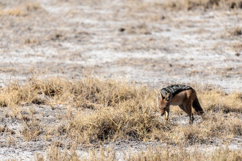 Jackal on the hunt for Prey. A side-striped Jackal -Canis Adustus- hunting for prey in Etosha National Park, Namibia royalty free stock photography