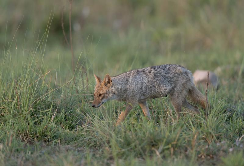 Jackal serarching for food in grassland royalty free stock images