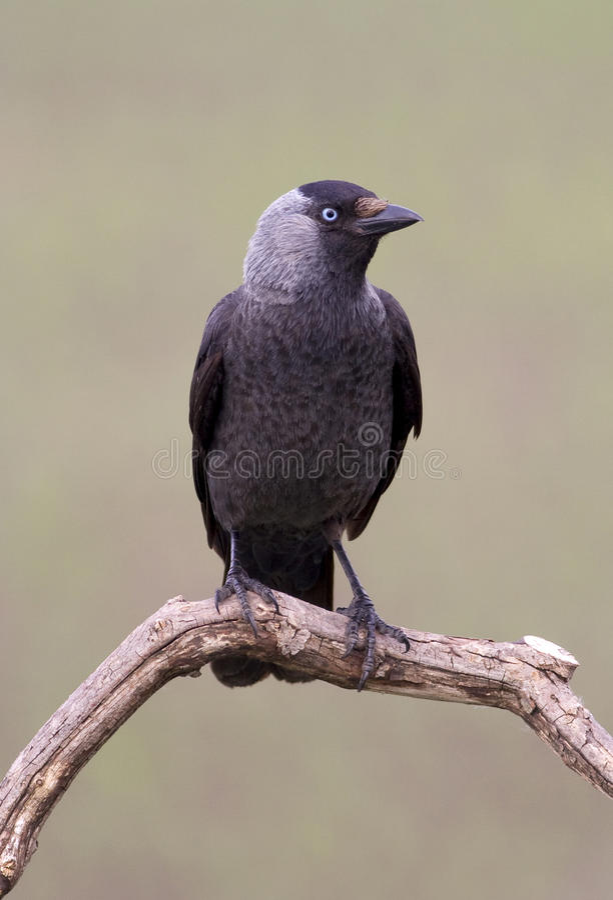 Jackdaw bird stock images