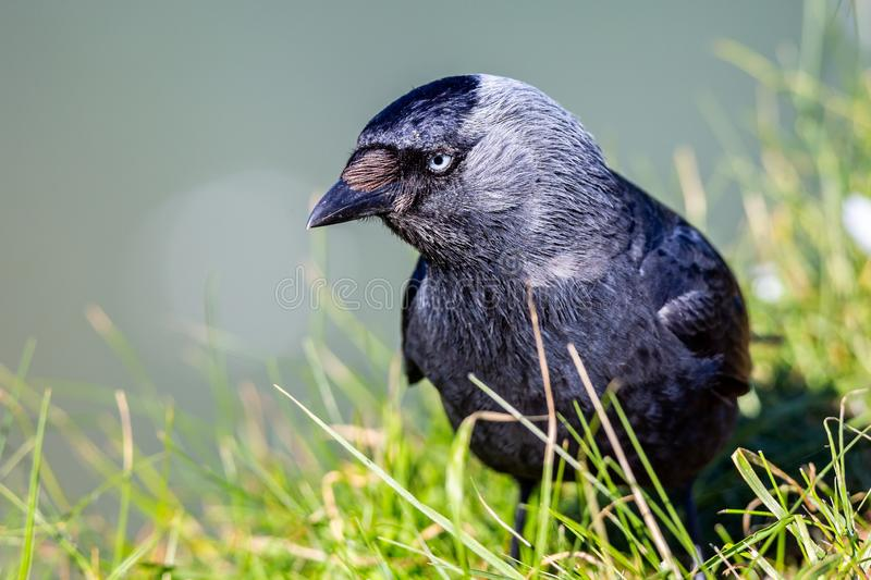 Jackdaw on cliff edge. Close up of Jackdaw on cliff edge royalty free stock photo