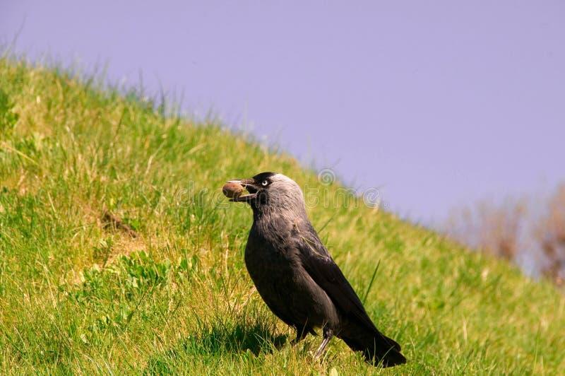 Jackdaw (Corvus monedula) obraz stock