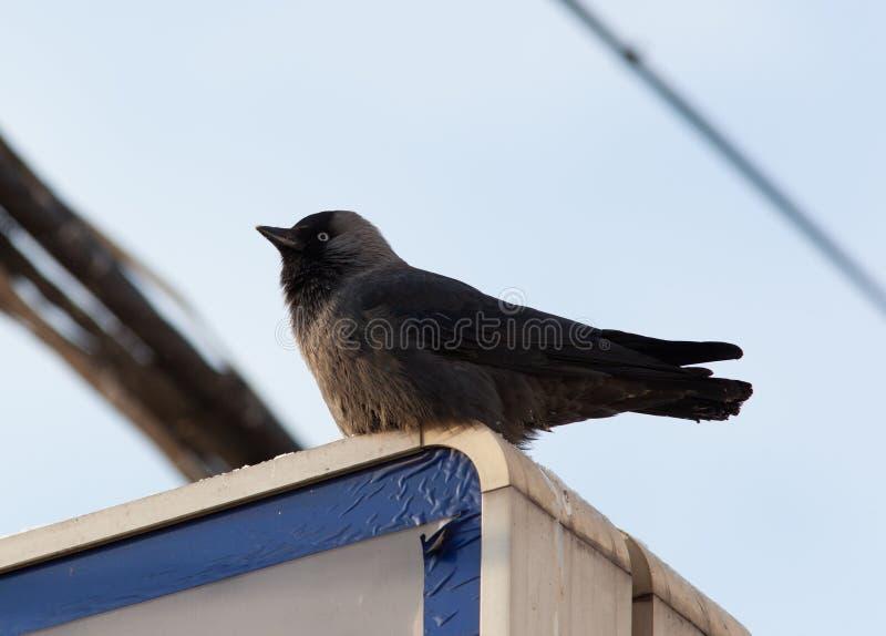 Download Jackdaw, Daw (Corvus Monedula) Stock Photography - Image: 16002872