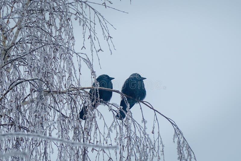 Jackdaw sentado no ramo de um pássaro sobre fundo de céu azul fotografia de stock