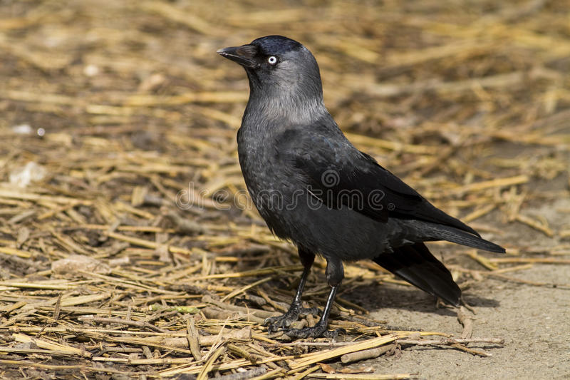 Jackdaw stood on straw in sunlight stock images
