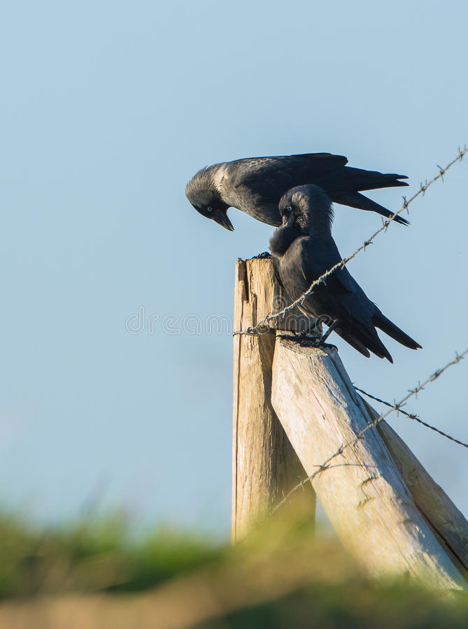 Jackdaws Royalty Free Stock Photography