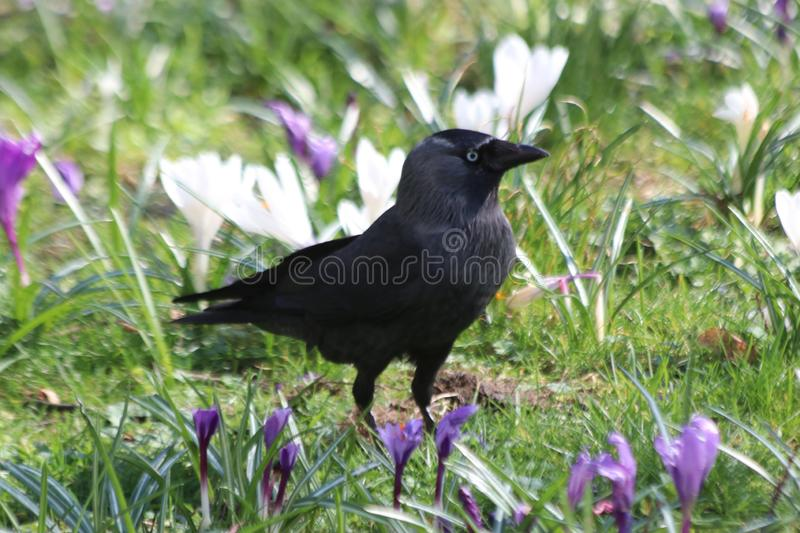 Jackdaw in grass between white and purple crocus flowers stock photo