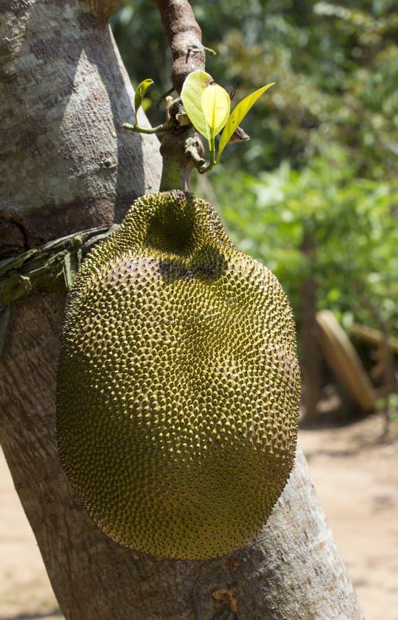 jackfruit σε ένα δέντρο στοκ φωτογραφία με δικαίωμα ελεύθερης χρήσης