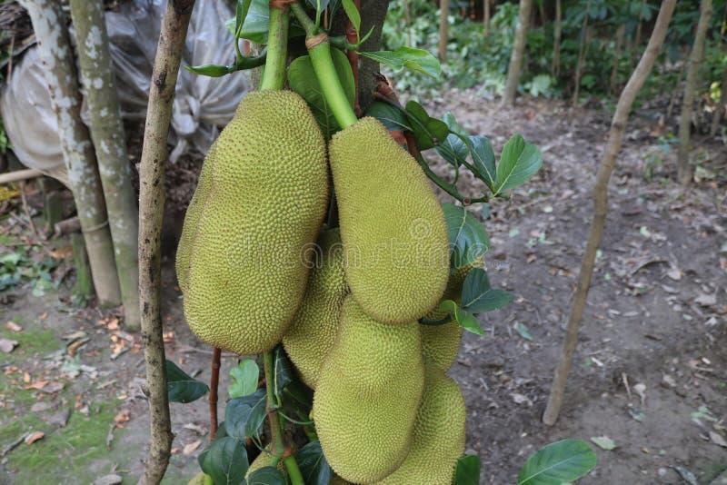 Jackfruit fotos de archivo