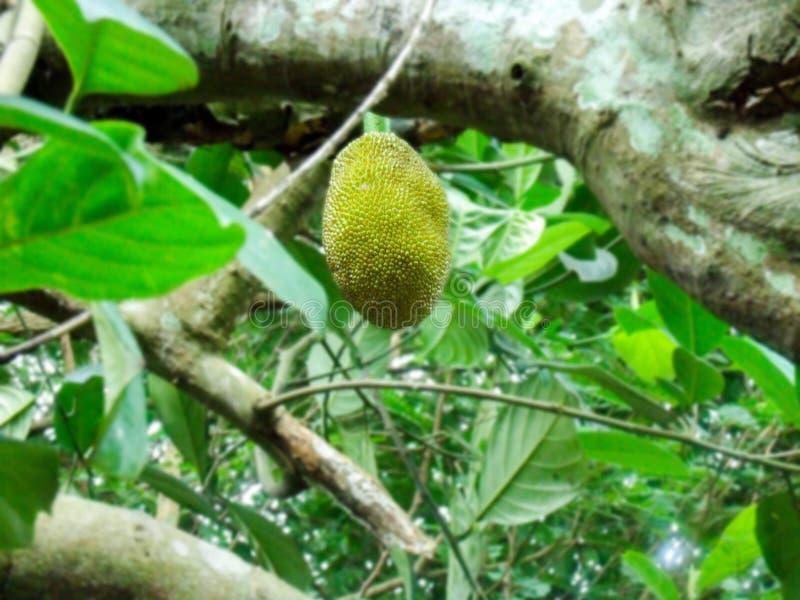 Jackfruit imagen de archivo libre de regalías