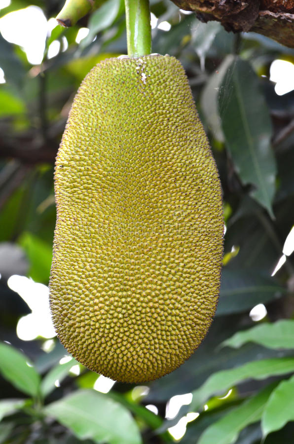 Download Jackfruit stock image. Image of hanging, flora, green - 19276861