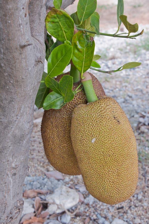 Download Jackfruit. stock photo. Image of hard, fresh, pointy - 22668984