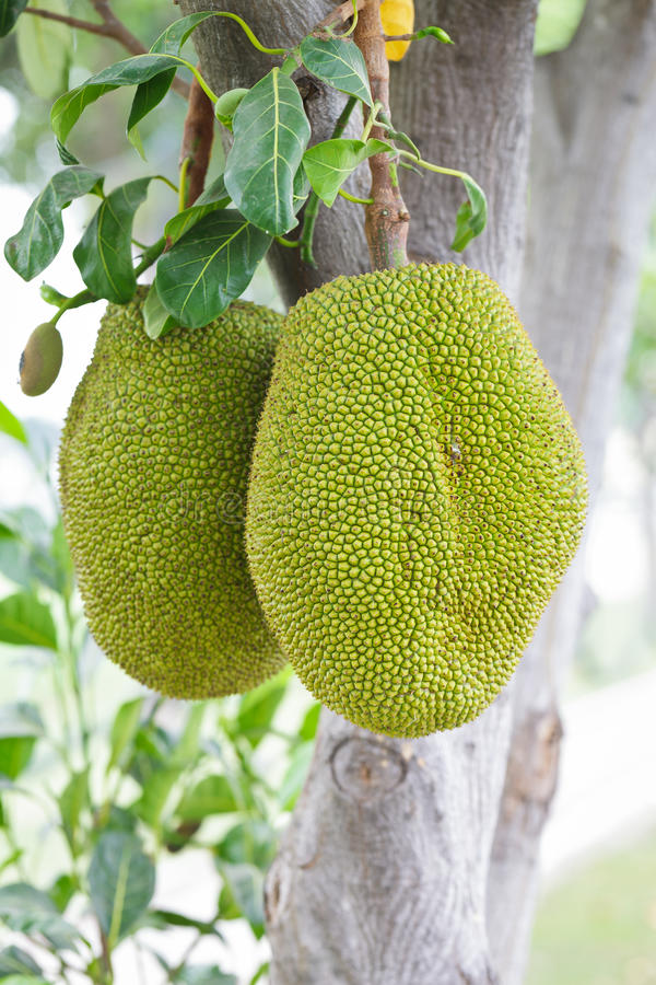 Download Jackfruit stock image. Image of asian, botany, growers - 23172919