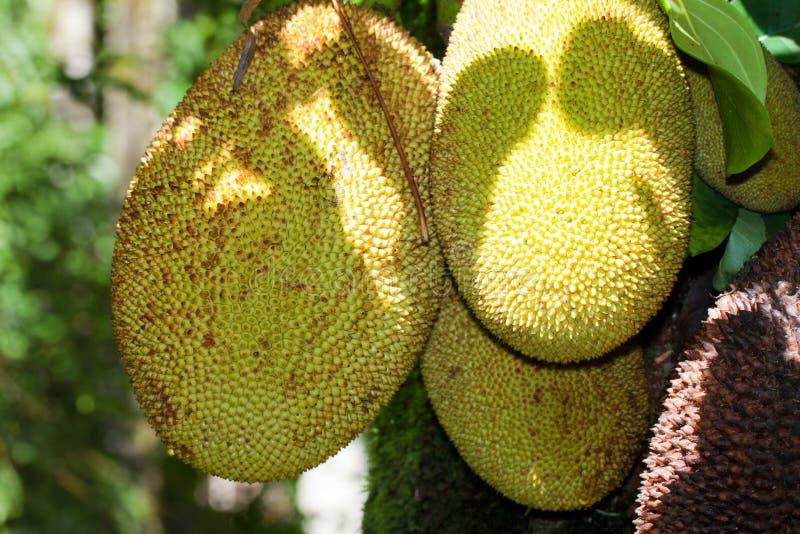 Download Jackfruit stock photo. Image of farm, jackfruit, exotic - 23889214