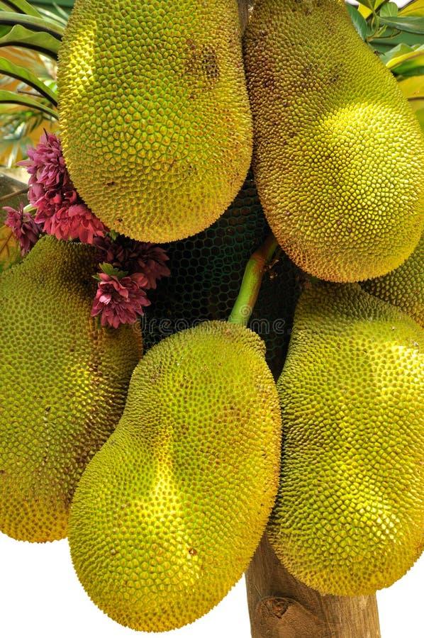 Jackfruit. Stock Photo