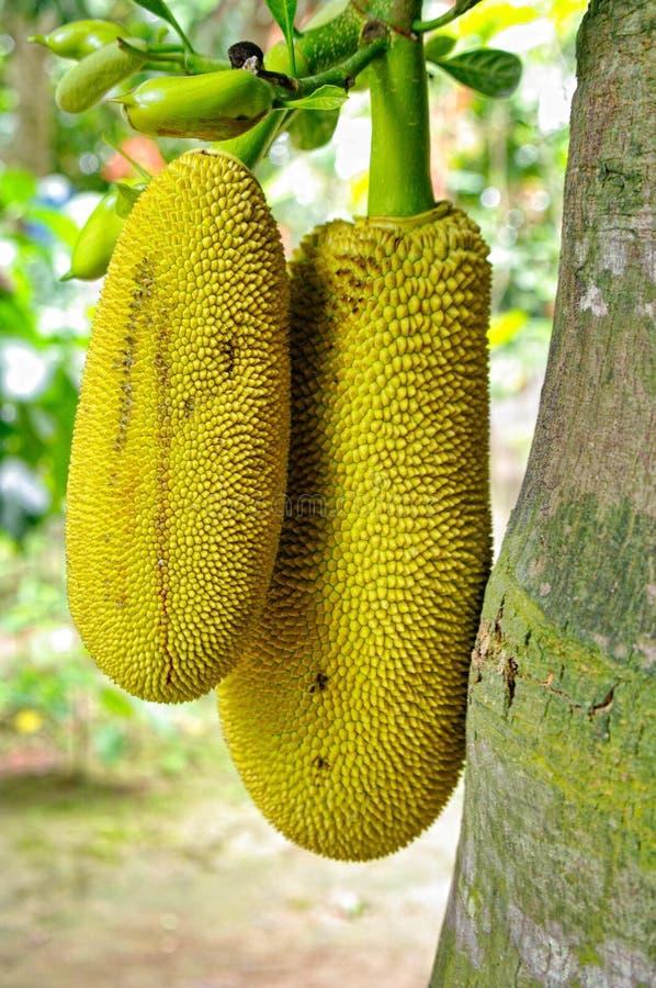 Jackfruit immagini stock