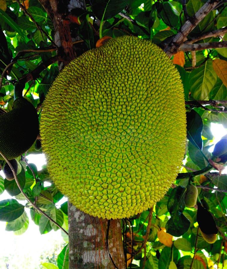Jackfruit fotografía de archivo