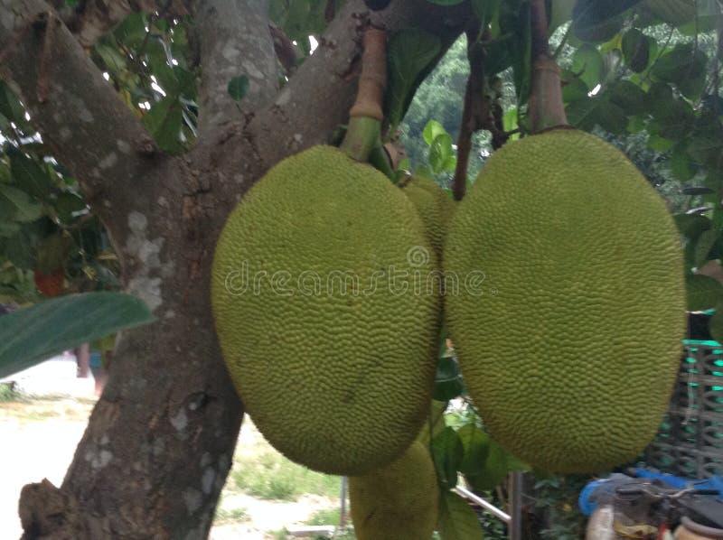 Jackfruit fotos de stock royalty free