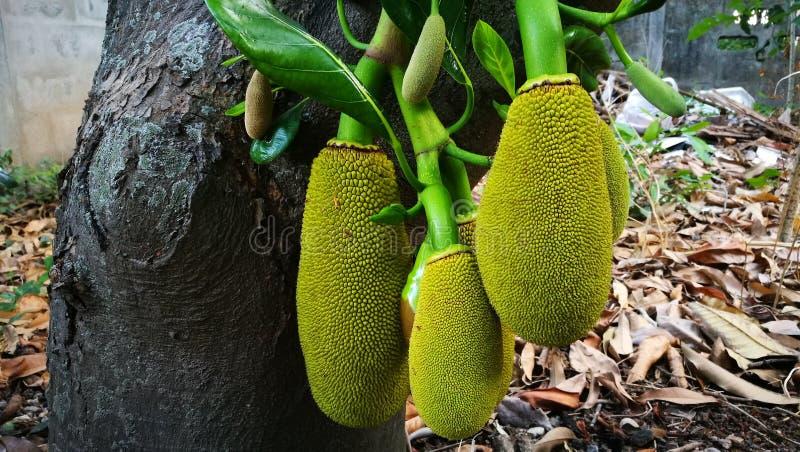 Jackfruit obrazy royalty free