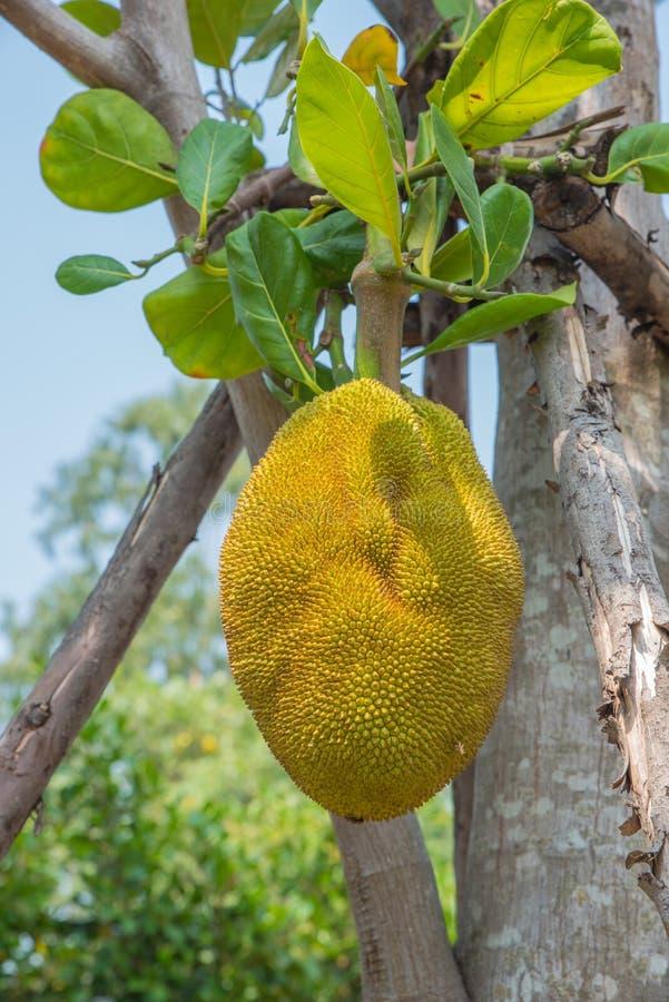 Jackfruit royalty-vrije stock afbeeldingen