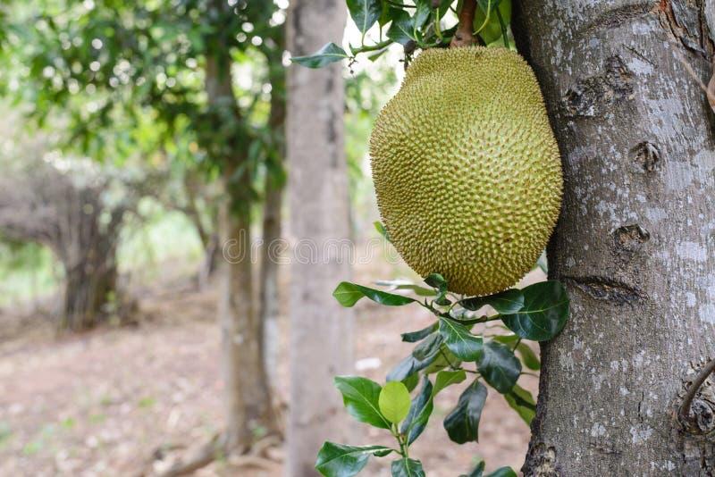 Jackfruit stockfotos