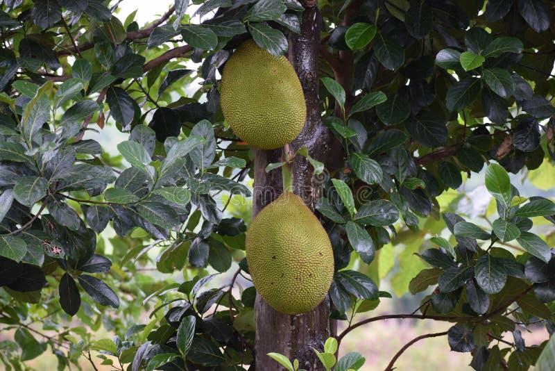 Jackfruit, Artocarpus, Cempedak, Fruit Tree stock images