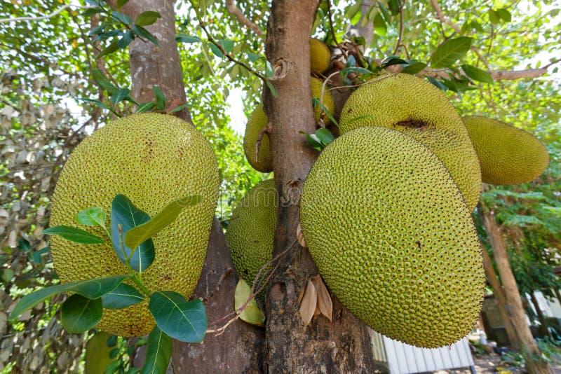 Jackfruit auf Baum lizenzfreie stockfotografie
