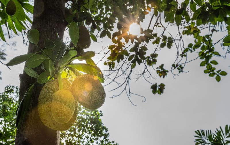 Jackfruit auf Baum lizenzfreies stockfoto