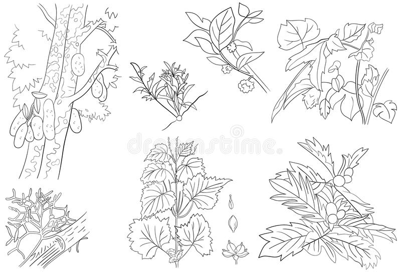 Breadfruit stock vector. Illustration of branch ...