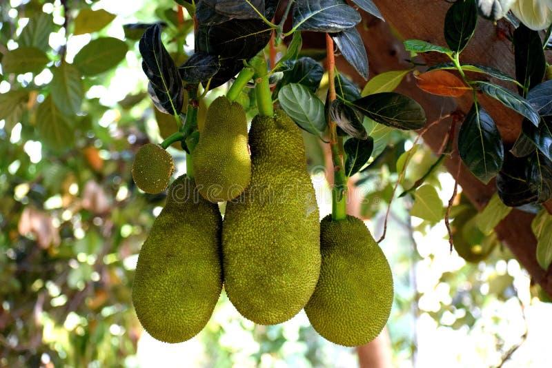 Jackfruit, Cempedak, Fruit, Artocarpus stock photo