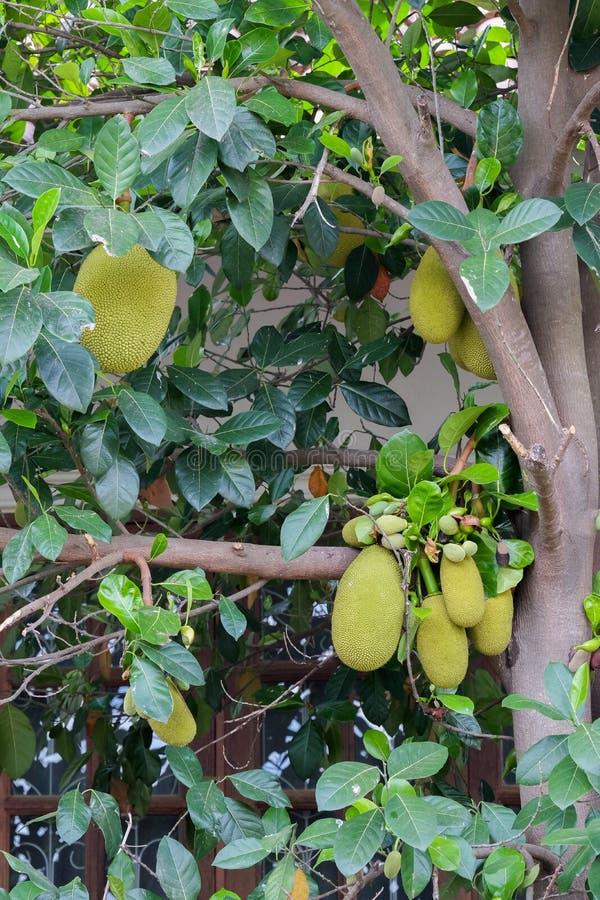 Jackfruit drzewo i ich liść w tle obrazy royalty free
