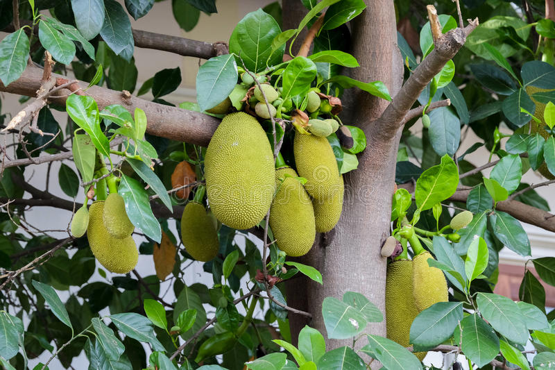 Jackfruit drzewo i ich liść w tle fotografia stock