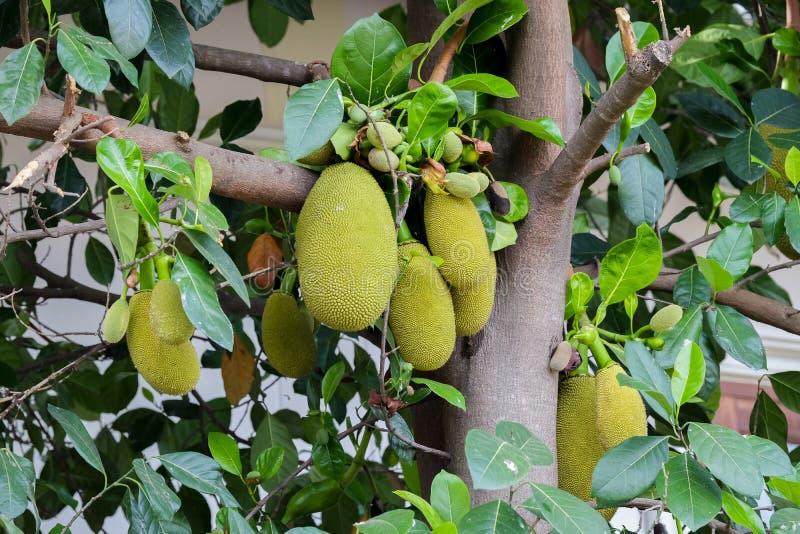 Jackfruit drzewo i ich liść w tle obraz stock