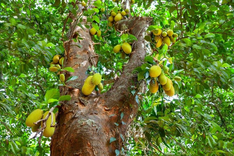 Jackfruit drzewo z dojrza?ymi owoc obrazy royalty free