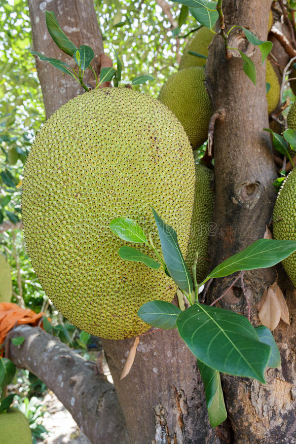 Jackfruit en árbol fotos de archivo libres de regalías