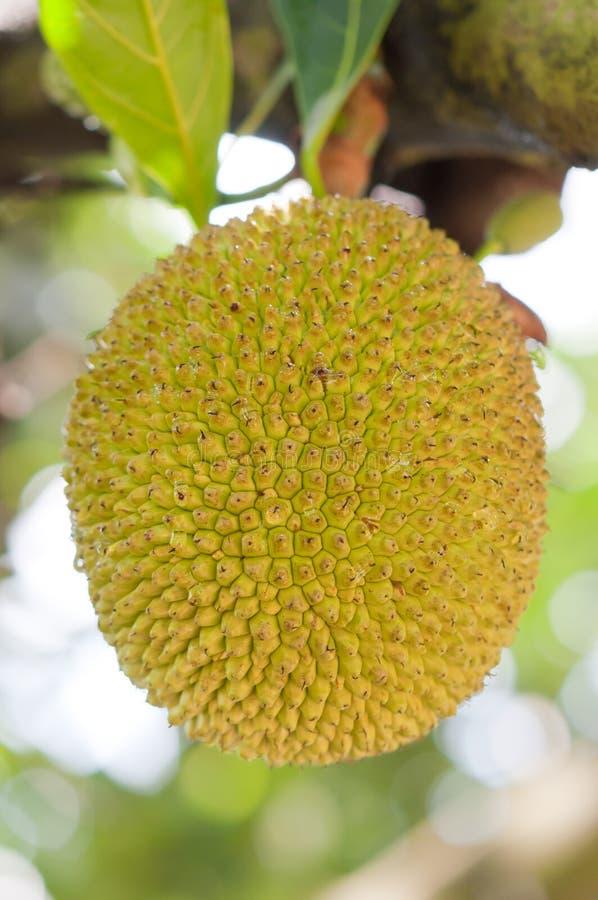 Download Jackfruit fruit stock photo. Image of food, summer, texture - 24740560
