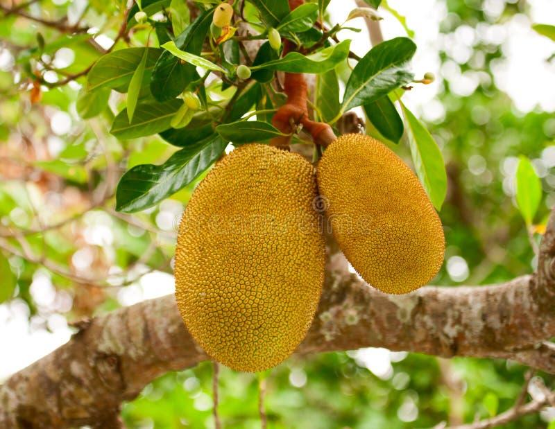 Jackfruit. The fruits of Jackfruit hanging on a tree stock image