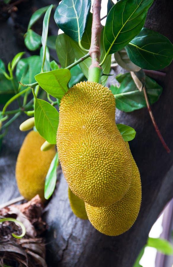 Jackfruit gigante imagem de stock