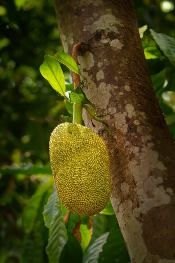 Jackfruit - heterophyllus de Artocarpus también conocido como árbol de enchufe, una especie de árbol en el higo, la mora, y famil fotografía de archivo