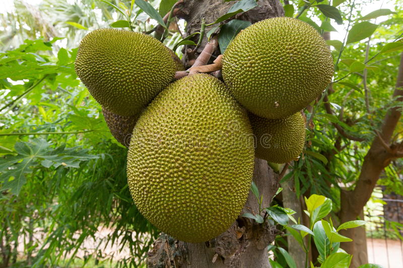 Jackfruit. Is a huge tree of tropical fruits and has unique shape, size, and fruity flavor of its bulbs. It is also fully rich with energy, dietary fiber royalty free stock image