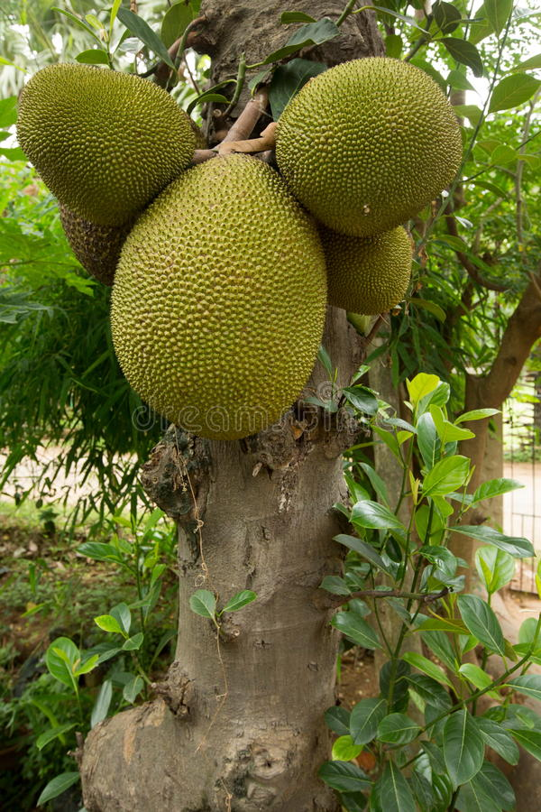 Jackfruit. Is a huge tree of tropical fruits and has unique shape, size, and fruity flavor of its bulbs. It is also fully rich with energy, dietary fiber stock photo