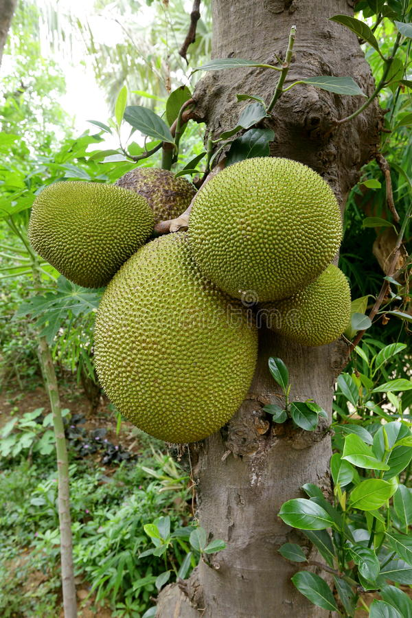 Jackfruit. Is a huge tree of tropical fruits and has unique shape, size, and fruity flavor of its bulbs. It is also fully rich with energy, dietary fiber royalty free stock photo
