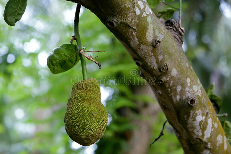 Jackfruit. Is a huge tree of tropical fruits and has unique shape, size, and fruity flavor of its bulbs. It is also fully rich with energy, dietary fiber royalty free stock images