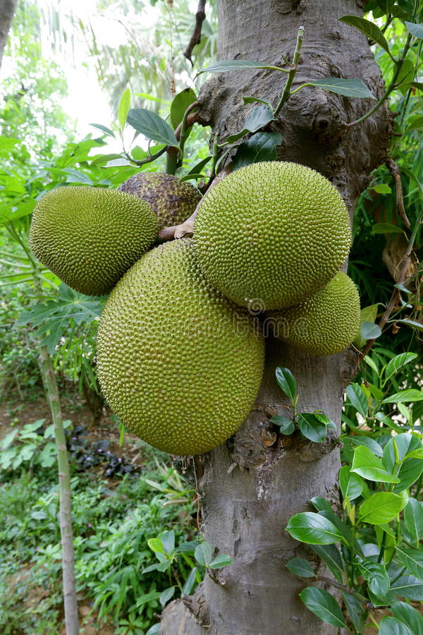 Jackfruit. Is a huge tree of tropical fruits and has unique shape, size, and fruity flavor of its bulbs. It is also fully rich with energy, dietary fiber stock images